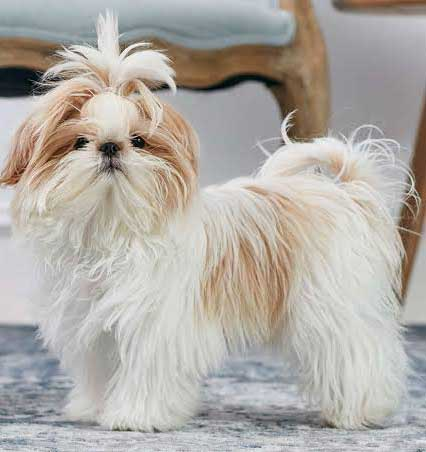 Shih Tzu white and fawn color