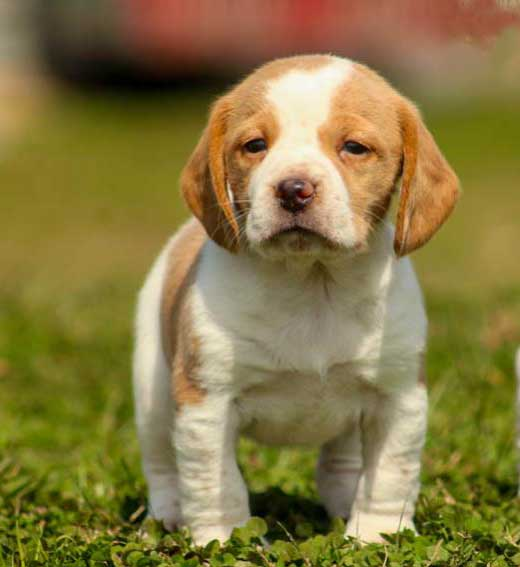 beagle white and tan puppy
