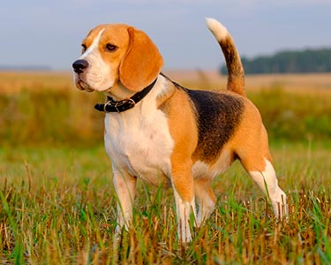 beagle price in India