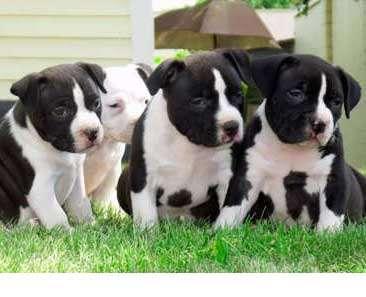 black american bully puppies