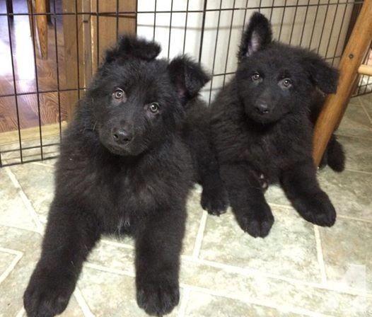 black German shepherd male puppy for sale