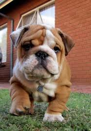 British bull dog puppy brindle
