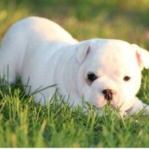 BRITISH BULL DOG PURE BREED WHITE COLOR