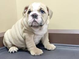 buy British bull dog puppy