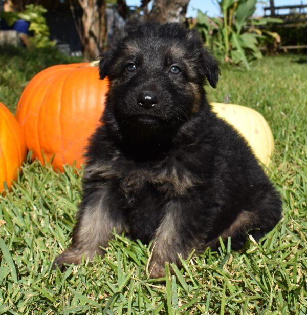 German Shepherd black puppy for sale