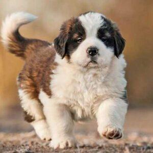 buy tri color saint bernard puppy