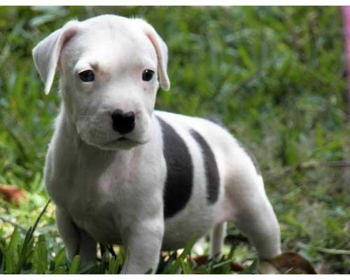 white color pitbull